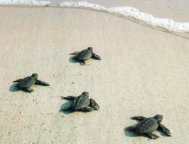 baby-turtles-towards-water.jpg