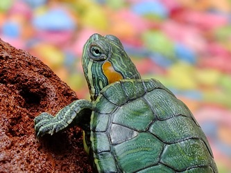 baby-green-turtle