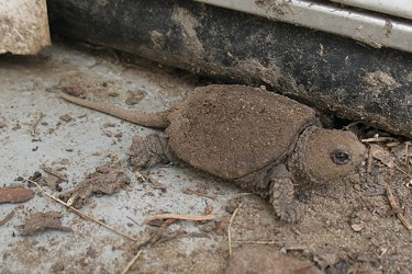 baby snapping turtles from albany 2