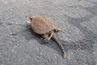 baby snapping turtles from albany 6