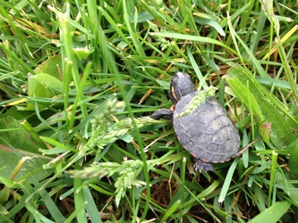 baby-turtle-on-grass