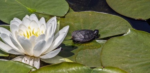 baby-turtle-on-lotus