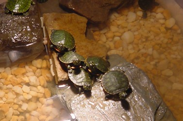 baby turtle pile