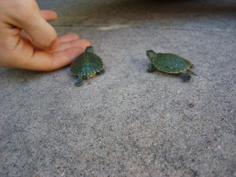 baby turtles moving