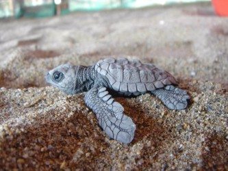 grey baby turtle